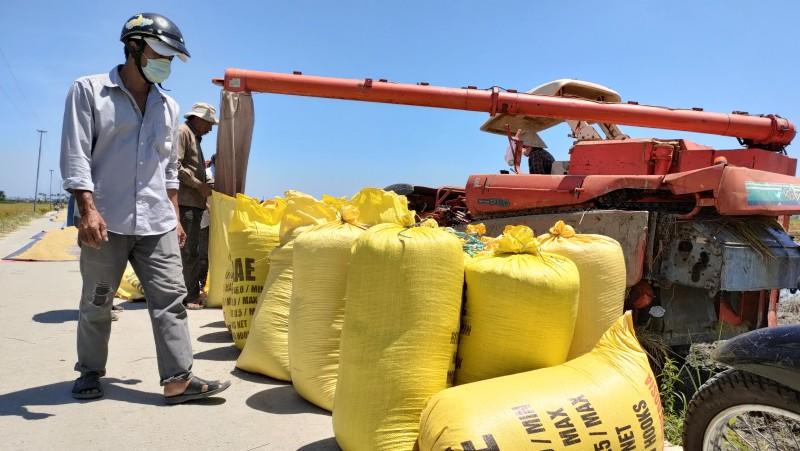Nông dân tranh thủ thời tiết nắng ráo thu hoạch lúa.